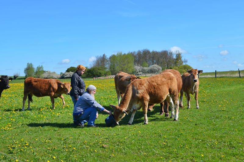 Hier siehst du braune Kühe, 2 Menschen, die eine Kuh füttern, blauen Himmel und eine grüne Wiese